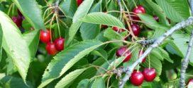 trešnja voće trešnja izbor trešnja zelena rezidba gusta sadnja
