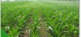 kukuruz zaštita useva