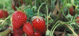 jagode podsticaji rezultati analize jagode napad jagode u julu