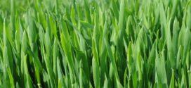prihrana setva pšenice pšenica organski setva ulaganje pepelnica pšenice bokorenje odlučuje fuzarioza pšenice pšenica faze