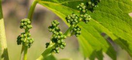 prihrana vinove organsko vinogradarstvo faze razvoja cvetanje vinove loze vinograd posle