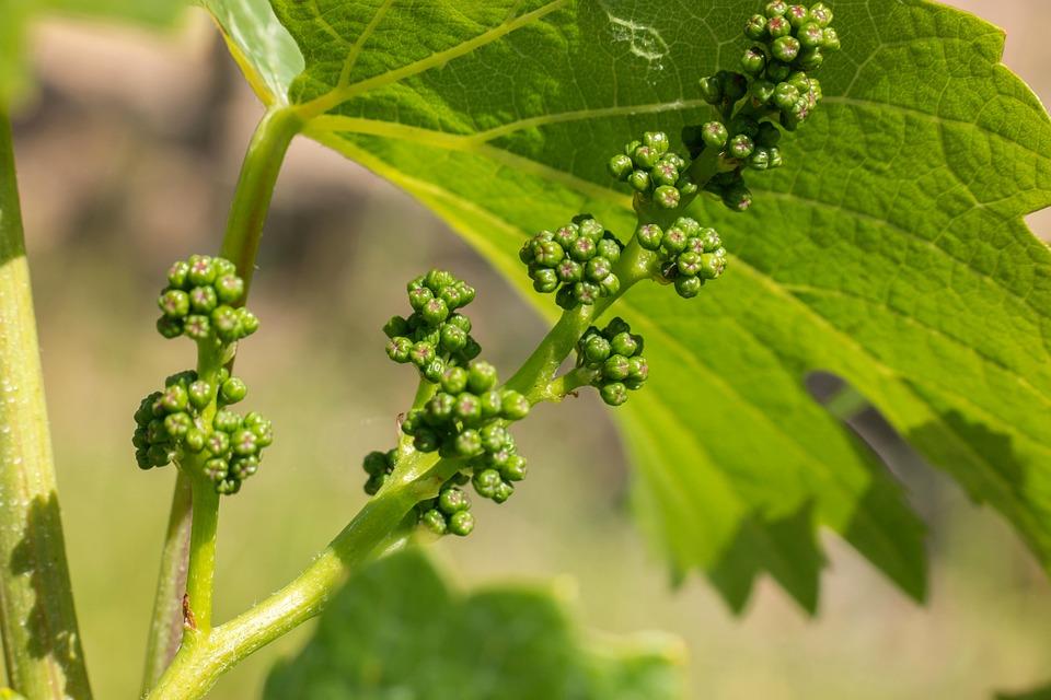 organsko vinogradarstvo faze razvoja cvetanje vinove loze vinograd posle