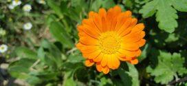 neven lekovito bilje aromatično bilje