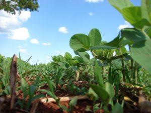soja njena zaštita korovi u soji korovi soja plamenjača setva soje