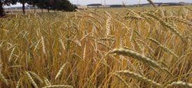 pšenica spelta ekološki uzgoj sortna lista
