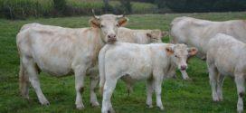 podsticaji za steone krave sistem gajenja sezonska teljenja sistem krava manjak vitamina junice prvotelke