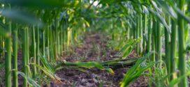 fosfor manjak plodored gustina setve fenofaze razvoja