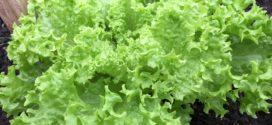 endivia organika salata cele godine integralna zaštita