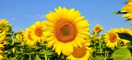 izvoz poljoprivrednih suncokret gubici suncokret monokultura