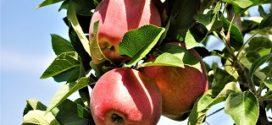 evelina svetski dan jabuke delta