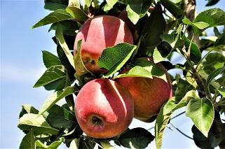 evelina svetski dan jabuka