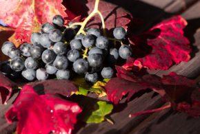 vinogradi rodni vrsac berba aleksandrovac