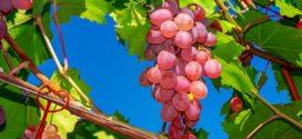 produktivnost čokota prerada grožđa bor pozitivni
