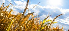 kukuruz afla djubrenje kukuruz nedostatak bolest kukuruza fuzariozna mnogo djubriva