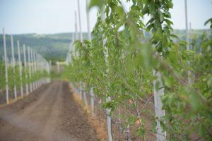 ugovorite sadnice sadnja trešnje mašinsko orezivanje zelena rezidba rasadnik u sremu