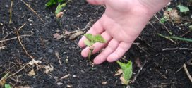 setva sadnja pravilan rasad nega topla leja dezinfekcija supstrata biofumigatori supstrati za zalivanje rasada bolesti korena