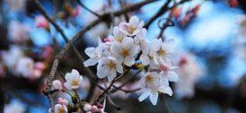 višnja cvet tereni za gajenje