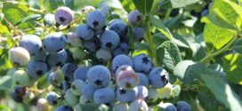 gajenje borovnice savetovanje borovnica za borovnica srbija borovnice nova jabuka borovnica posle berbe borovnica u evropi