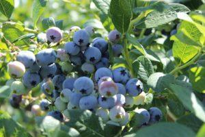 gajenje borovnice savetovanje borovnica za borovnica srbija borovnice nova jabuka borovnica posle berbe
