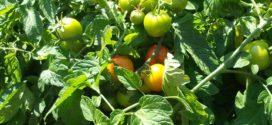 zalivanje pravilni turnusi mineri lista setva paradajza paradajz uzgoj paradajz virus plamenjača paradajza novi virus