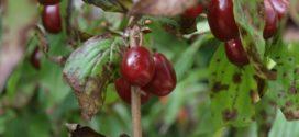 pegavost lista rezidba višnje rđasta grinja