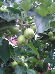 drugi sabor jabuka kvalitet