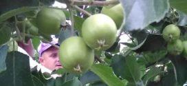 proređivanje plodova drugi sabor jabuka kvalitet