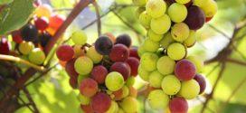 korovi u vinogradu vinograd od sastav bobica