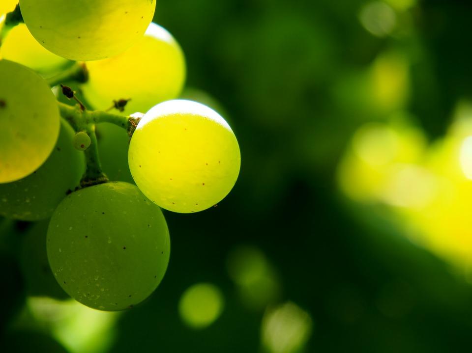 ožegotine na plodovima sorte vinove loze sorte stonog