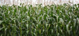 bioetanol Folijarna prihrana rastvorom UREE – Poslednjih godina ratari u Kolubarskom okrugu počeli su da primenjuju folijarnu prihranu jarih useva, najčešće kukuruza, rastvorom UREE.