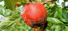 mikotoksini monilia laxa opasna jabuka trulež bolest koja