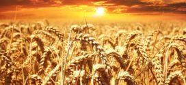 kvalitetna zrna hrana cena samo 12 poleganje manje zalihe poljoprivreda za 21.vek cena kvalitet uvoz kvalitetne pšenice
