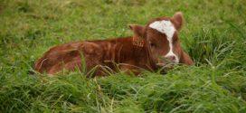 odabiranje podmlatka podsticaji uplodnost krava junad nemaju tov premije podsticaji