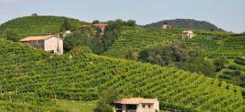 vinograd vino kao berba je počela