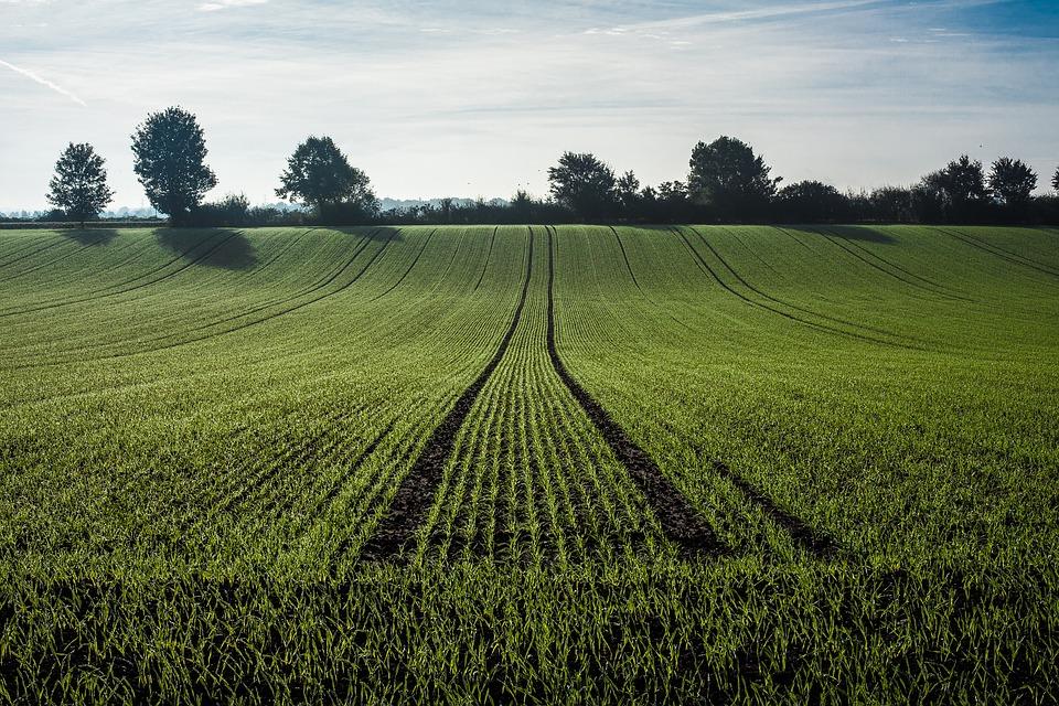 pšenica napad suzbijanje korova rok setve