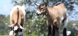 jarad selekcija izbor hraniva za koze