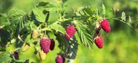 malina sušenje malinina vaš biljne vaši