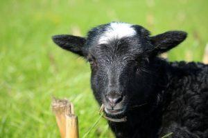 romanovska ovca