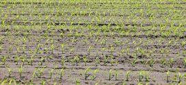 setva kukuruza pre-em vlaga u kukuruzu