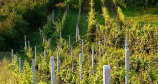 regeneracija vinove loze