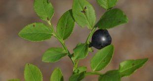 borovnica na berba cene borovnice