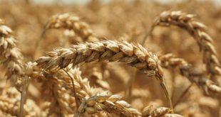 kvalitet nije setva deklarisanog semena kvalitet zrna slab