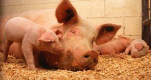 uzgoj svinja na surutka ubrzava tov