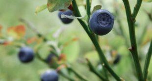 sorte borovnice borovnica profit