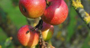 zasada jabuka u svetu