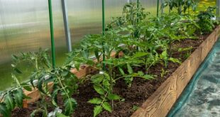 oplodnja cvetova paradajza